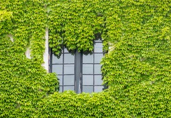 Wall is full of vegetation green color. Plantlush green colors. Green wall, eco friendly vertical garden.House overgrown by green ivy.Unique photo of a house overgrown with ivy.