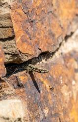 Wall lizard in their habitat