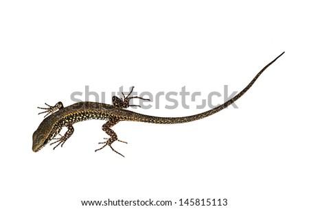 Wall lizard, isolated