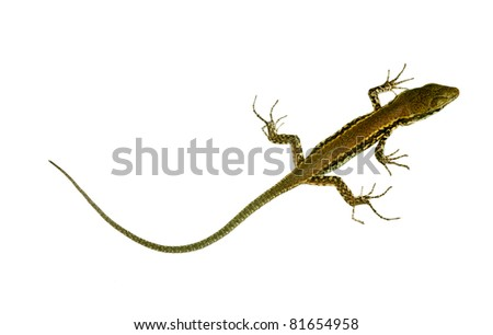 Wall lizard with very long tail