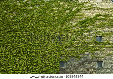 Wall of a house completely overgrown with Common Ivy