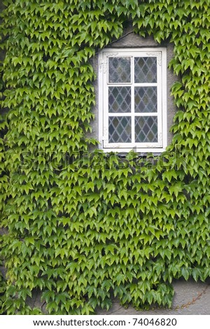 Wall of a house with window covered with ivy
