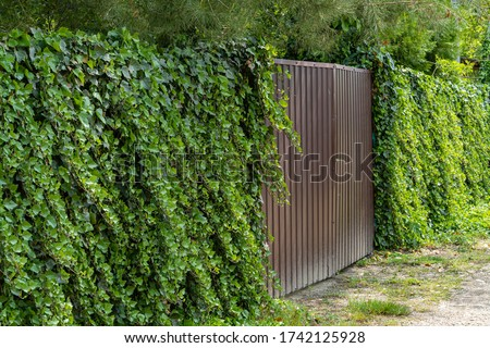 Wall of green ivy. Hedera spiral. Original texture of natural greenery. Decoration of fence with ordinary ivy. Background from elegant leaves. Nature concept for design Foto stock ©