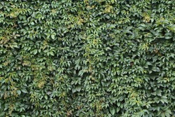 Wall, thickly covered with green leaves of Victoria creeper (Parthenocissus quinquefolia, Five-leaved ivy, Virginia creeper, five-finger), summer. Organic, nature background or texture