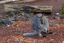 Wallaby, a macropod native in  Australia, living in captivity, sitting on the artificial surface of its enclosure. It is endangered species because of disappearing of its habitat or living space.