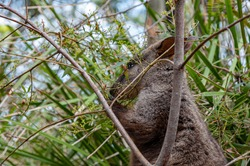 Wallaby eating in the forest by itself hiding behind a small tree
