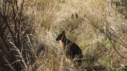 Wallaby hiding in bushes
