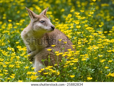 Wallaby kangaroo with yellow buttercup flowers in spring