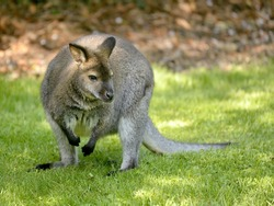 Wallaby of Bennet, or Red-necked wallabies (Macropus rufogriseus) on grass seen from front