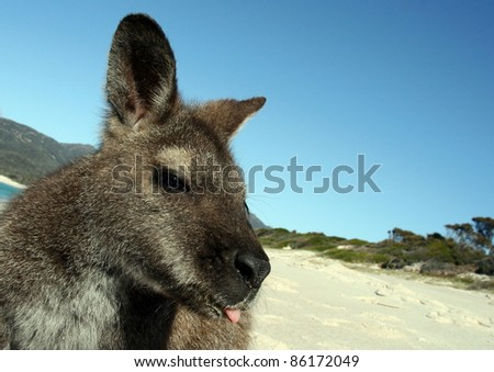 Wallaby with wacky face