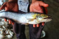 wallago attu fresh water shark catfish in hand fish with sharp teeth river monster fish