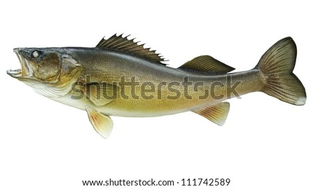 Walleye isolated on white