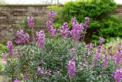 Wallflower plant Bowles's Mauve in flower with walled English garden in background. Introversion concept.