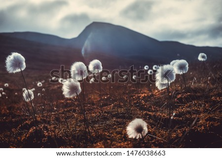 Wallpaper norway landscape nature of the mountains of Spitsbergen Longyearbyen Svalbard   on a flowers polar day with arctic summer in the sunset  Сток-фото ©