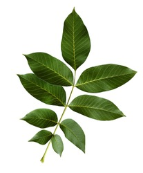 Walnut green leaves isolated on a white background.