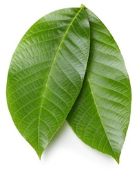 Walnut leaves isolated on white background. Walnut nut leaf clipping path. Food photography