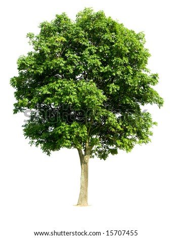 Walnut tree latin name juglans regia isolated against a white background for more isolated - Growing french walnuts for a profit ...