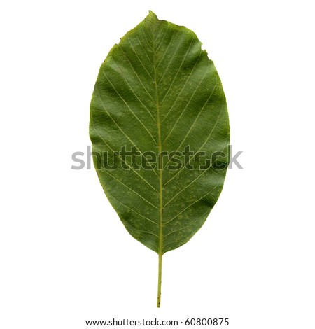Walnut tree leaf - isolated over white background - front side - stock photo