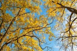 Walnut trees in the fall in London Ontario Canada