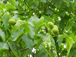 Walnuts. Green unripe walnuts with natural background. Young walnuts growing on a tree branch at sunny autumn day. Nuts close-up