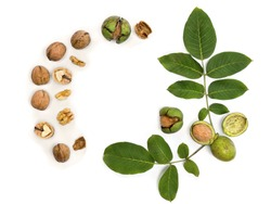 Walnuts ( Juglans regia ) with green shell and leaves on white background with space for text