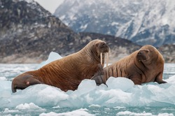 Walrus and her pup floating on ice in a fjord , Eastern Greenland.