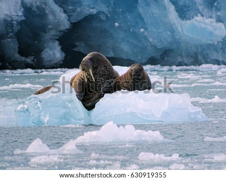 Walrus Cow & Calf on Ice Hamiltonbukta Svalbard