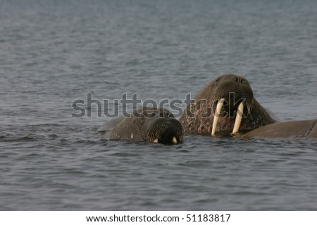 Walrus in the High Arctic around Svalbard