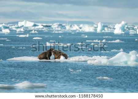 Walrus is a terrible animal with large tusks and fangs. A real beast