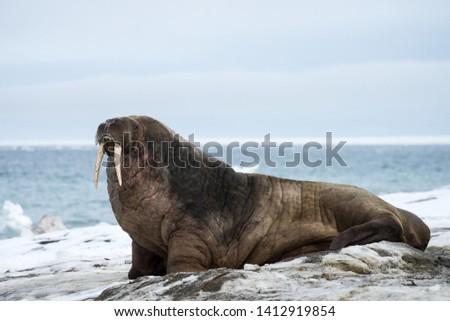 Walrus isolated on Svalbard coast