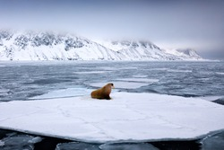 Walrus, lying on the ice, stick out from blue water on white ice with snow, Svalbard, Norway. Winter Arctic landscape with big animal.