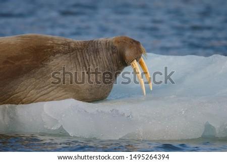 Walrus (Odobenus rosmarus) on a piece of ice at Spitsbergen