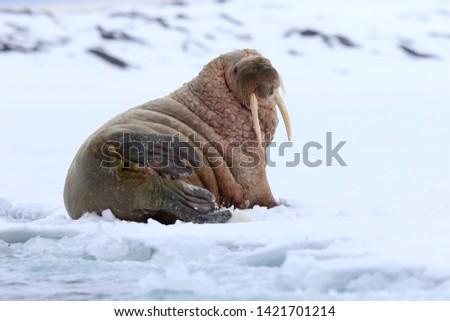 Walrus Odobenus rosmarus rosmarus in Svalbard