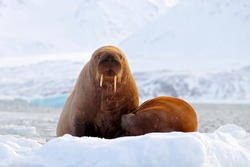 Walrus, Odobenus rosmarus, stick out from blue water on white ice with snow, Svalbard, Norway. Mother with cub. Young walrus with female. Winter Arctic landscape with big animal. Polar wildlife.