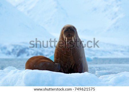 Walrus, Odobenus rosmarus, stick out from blue water on white ice with snow, Svalbard, Norway. Mother with cub. Young walrus with female.