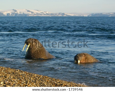 Walrus viewing tourists on a beach in the Arctic Circle