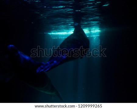 Walruses swim under water in the zoo. Underwater mammals in Northern waters and seas. Environmental protection. #1209999265