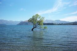 Wanaka lake Tree in Newzealand