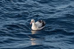 Wandering Albatross (Diomedea exulans) in South Atlantic Ocean, Southern Ocean, Antarctica