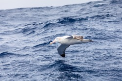 Wandering Albatross gliding at low altitude above ocean water surface, largest wingspan of all birds provides efficient flight, seabird foraging in Drake Passage near Antarctic Peninsula