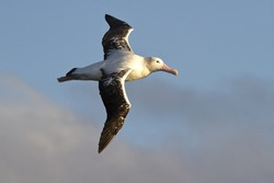 wandering albatross on a background of blue sky with clouds