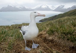 Wandering albatross on the nest with snowy mountains and light blue ocean in the background, South Georgia Island, Antarctica