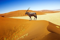 Wandering dune of Sossuvlei in Namibia with Oryx walking on it
