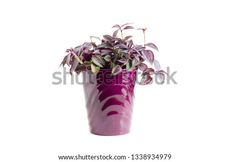 Photo of  Wandering Jew houseplant tradscantia zebrina burgundy striped leaves in a purple planter pot isolated on white background.
