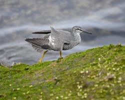 Wandering Tattler (Tringa incana) bird