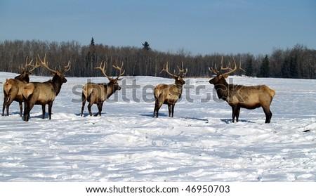 Wapati Elk herd on a commercial breeding farm near Edmonton, Alberta