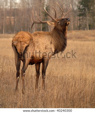 Wapiti elk attempting to catch a scent on a domestic elk farm in Alberta, Canada