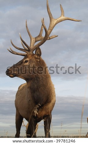 Wapiti Elk ((Cervus elaphus))  against an Alberta autumn sky