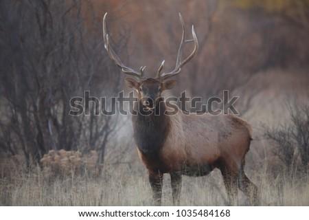 Shutterstock Wapiti  in Bosque del Apache National Wildlife Refuge, New Mexico