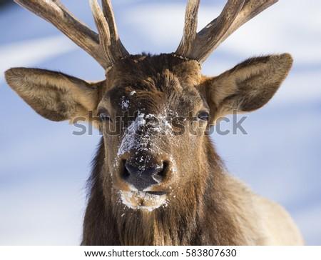 Wapiti portrait in winter #583807630